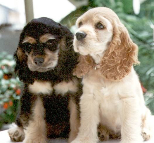 cocker-spaniels-in-southern-california