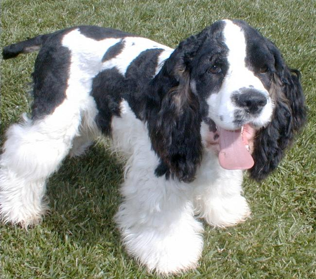 El Shaddai Parti Color Cocker Spaniels Of Southern California